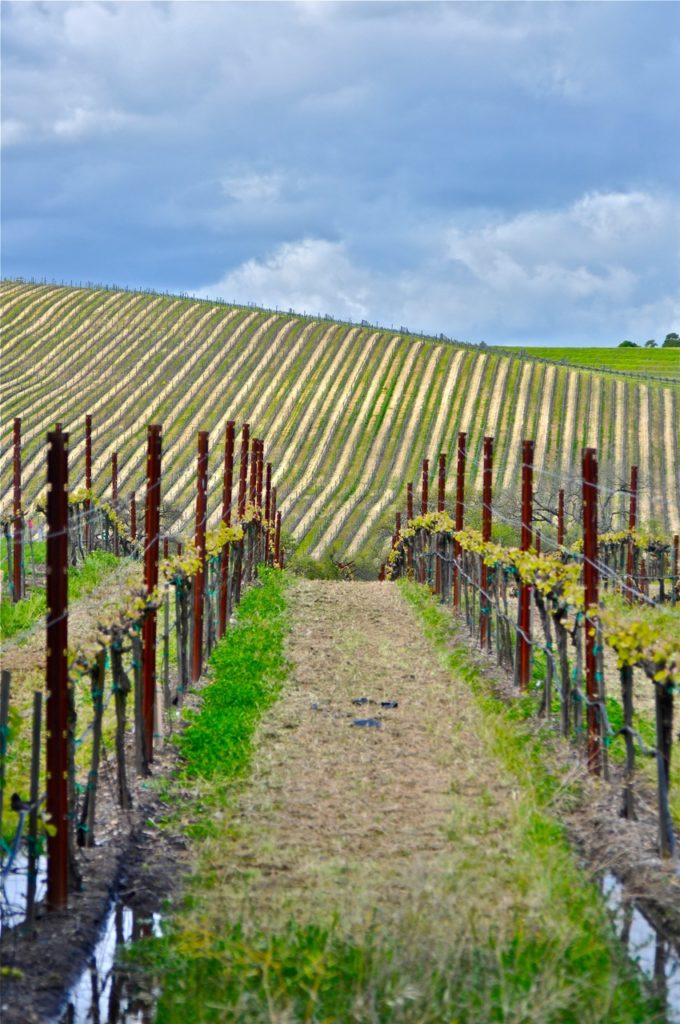 Sonoma grapevines on Brenda Kinsel website