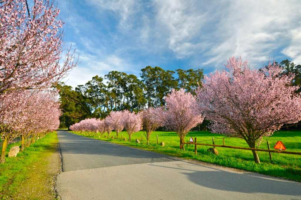Rows of plum trees on Brenda Kinsel website